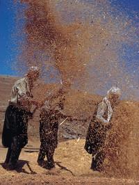 winnowing wheat
