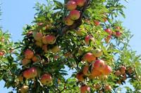 many apples on tree