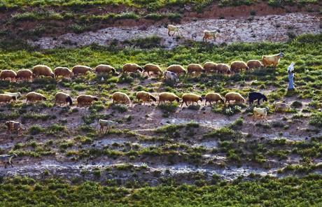 sheep following shepherd