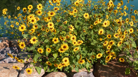 sunflowers by water