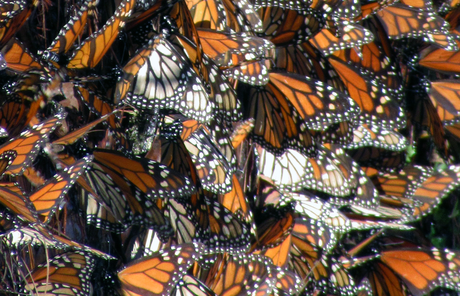 Cluster of butterflies