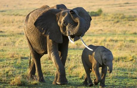 adult elephant with baby elephant