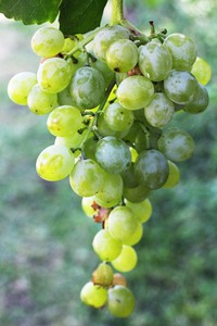 cluster of grapes on vine